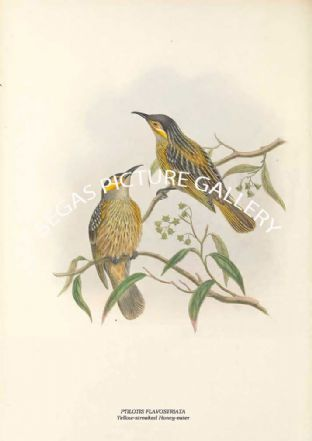 PTILOTIS FLAVOSTRIATA - Yellow-streaked Honey-eater